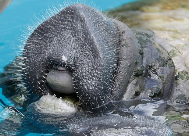 Manatee Sighting Networks