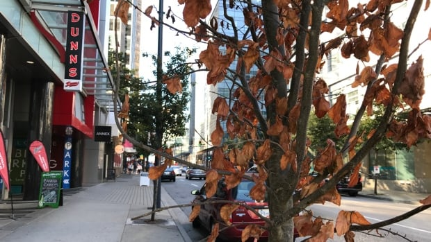 A young City of Vancouver street tree on Seymour Street suffers from dry conditions.