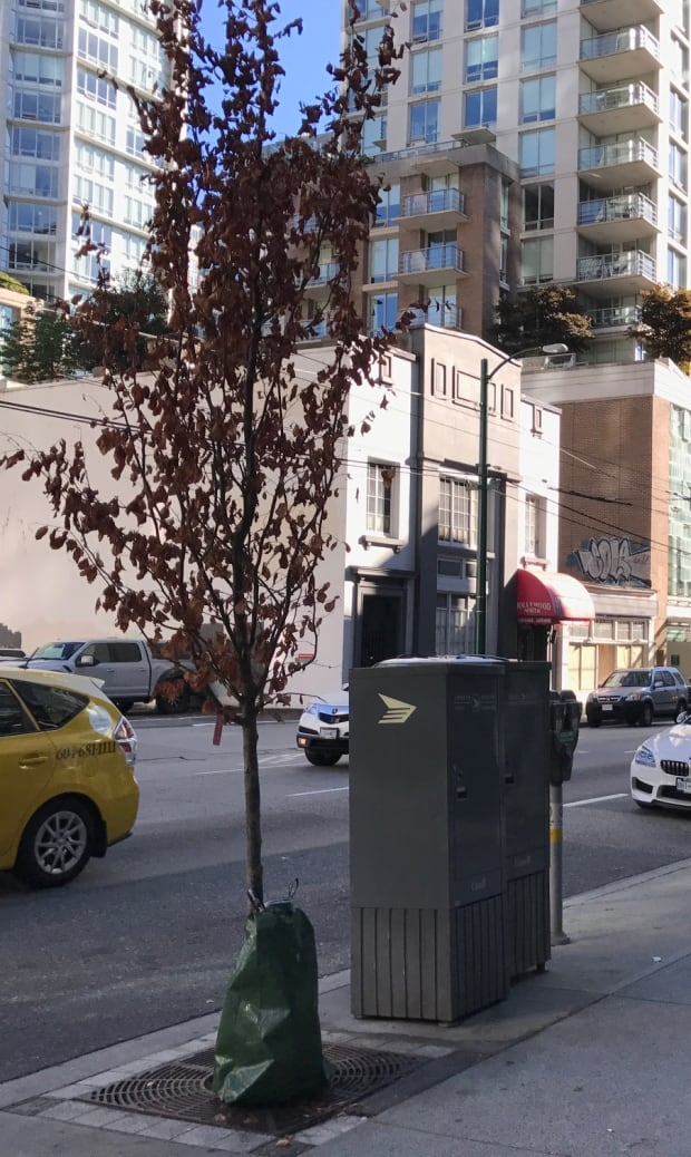 Young city of Vancouver tree with water bag