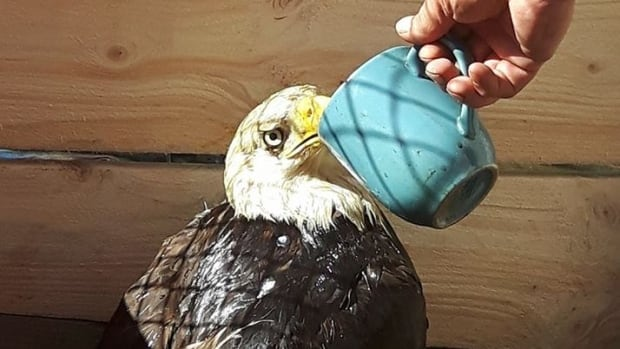 A bald eagle takes a drink of water. The eagle was rescued by Rocky Bay First Nation resident Harold Michon about a month ago from the Macdiarmid landfill. It had a bottle cap lodged in its throat, and was near death. Michon has nursed it back to health, and plans to release it back into the wild by the end of September.