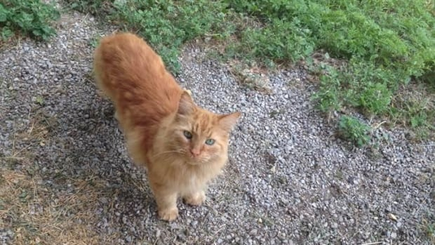 Tito the cat was killed in July in an area north of the Beach in east-end Toronto. City workers told its owner, Tanya Spasic, that it was killed by coyotes, but vet Kathy Alcock could not confirm that. Alcock is warning pet owners in the area, however, to keep cats inside and dogs on a leash.