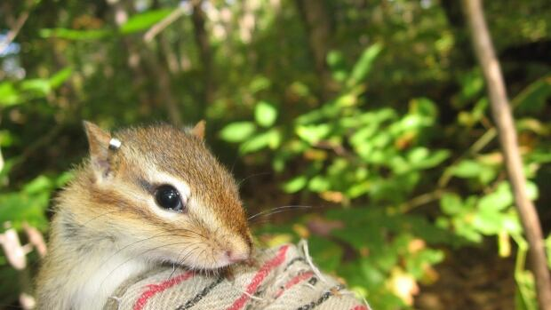 The research team studied chipmunks in Sudbury, an area on the outskirts of the city, Hunstville, and in Algonquin Park for a couple of years