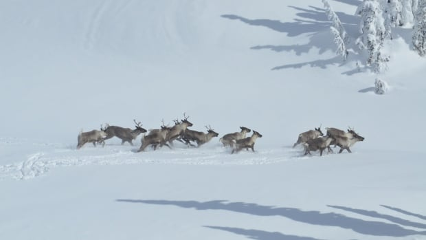 A University of Alberta researcher says several conservation methods, applied together, are needed to protect caribou.