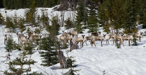 B.C. caribou