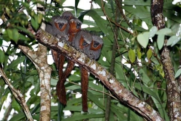 Fire-tailed titi monkey