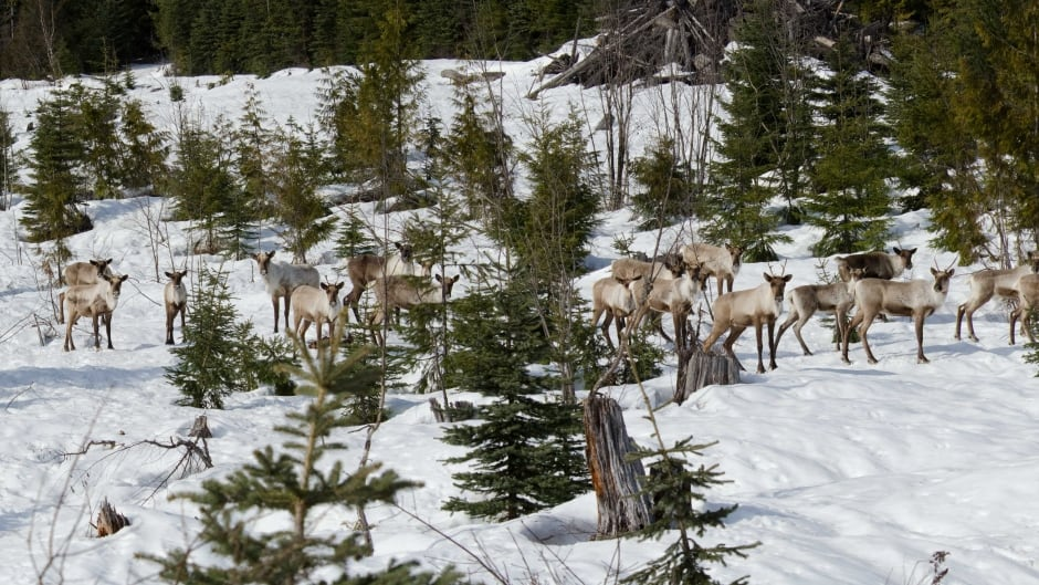 Mountain Caribou in British Columbia observed during a population census