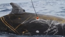 Satellite tag deployment on a Cuvier's beaked whale