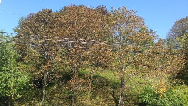 Norway maples affected by tar spot in Halifax.