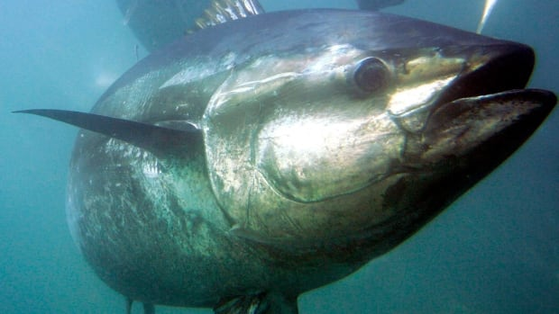 Federal scientists are tagging the tuna in order to track their movements.