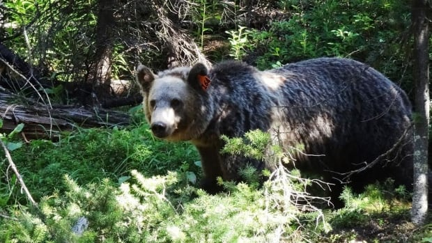 A seven-year-old male grizzly known as Bear 164 was hit by a car on the Trans-Canada Highway near Lac Des Arcs, Alta., in late July. The bear stayed in one place near the highway for a while, so parks staff thought he was dying.