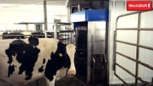 Cows workshift