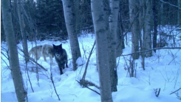 A study tracking the hunting behaviour of wolves over two winters in Alberta's Athabasca oilsands region found the predators did not avoid mines or tailings ponds.