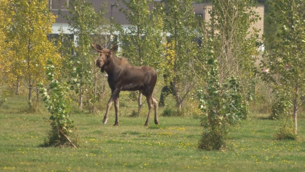 A moose was on the loose in Winnipeg near the University of Manitoba, creating lineups as football fans headed to Investors Group Field for Saturday's Banjo Bowl.