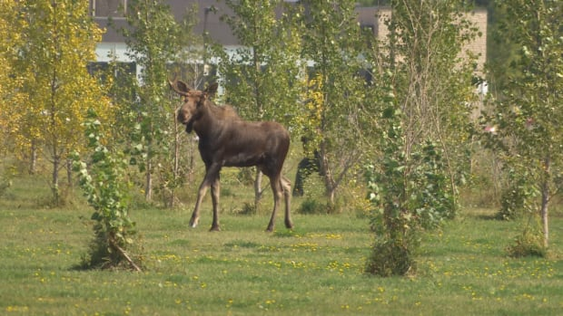 moose-on-the-loose Fleet-footed moose tranquilized near Winnipeg stadium after wild 2-day chase