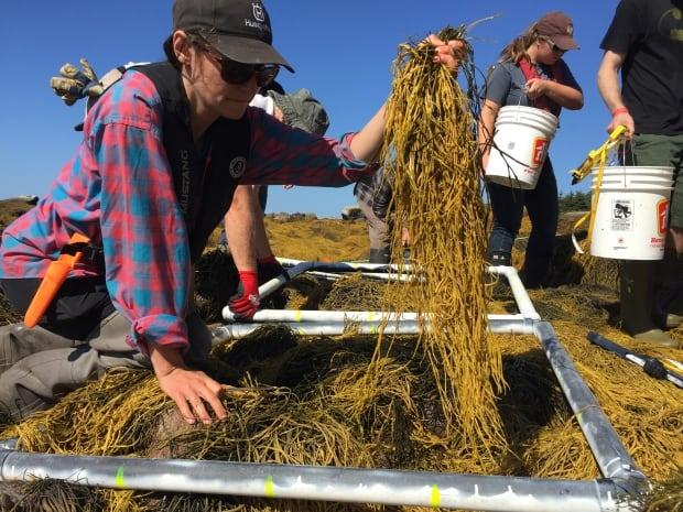 Cutting rockweed