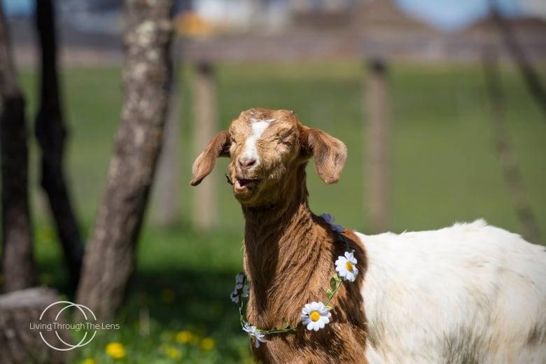 00206c8d967 Where s Daisy   10K reward for blind goat stolen from central ...