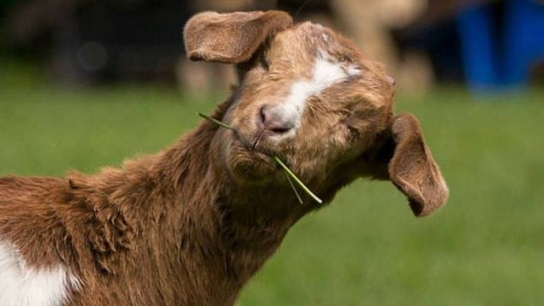 6ed29828de9 An Alberta rescue agency believes Daisy the goat was stolen from its  property on Sunday night. (FARRM Facebook)