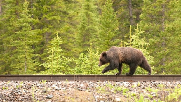 A grizzly bear known as Grizzly 108 ambles along the track in search of food. When trains and wildlife collide, the wildlife rarely survives the violent impact.