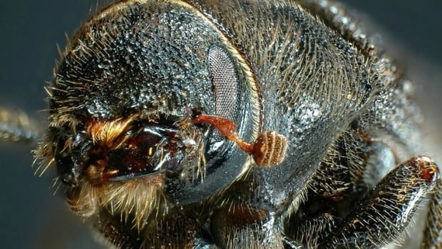 Mountain pine beetles are native to B.C. but are considered an invasive species in Alberta.