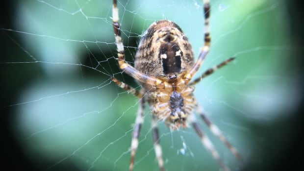 A large spider, possibly a garden cross spider, waits for prey in its web in Vancouver's Stanley Park on Sept. 12, 2017.