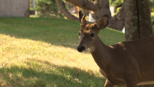 Deer in Millidgeville, where this one was photographed in a resident's front yard, are a public safety concern, according to one Saint John city councillor.
