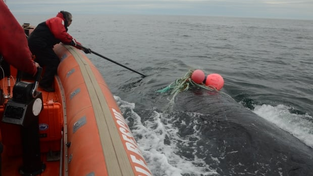 Joe Howlett uses a long pole with a knife attached to cut a whale free from fishing gear on one of the rescues he did before his death this summer.