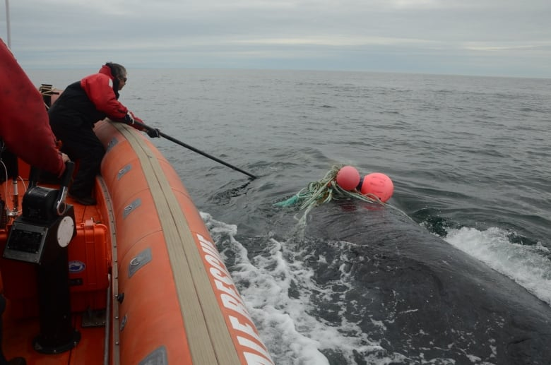 Rescue team frees 1st entangled whale since 2017 death of volunteer Joe Howlett