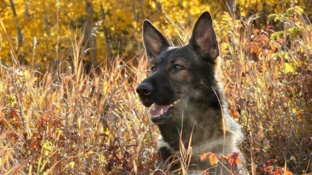 After a 6.5-week recovery, Jester the Calgary police dog returned to work Tuesday evening. He was stabbed in the head multiple times during a pursuit in late July.