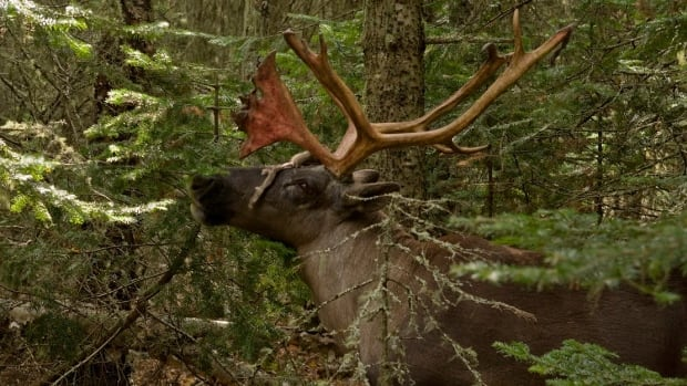 The survey of caribou populations in Saskatchewan's central boreal plains will be taking place from January to March.