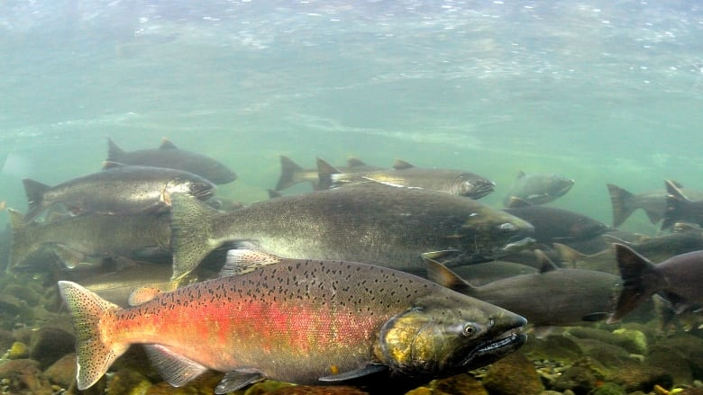 more than a dozen bc chinook salmon populations in