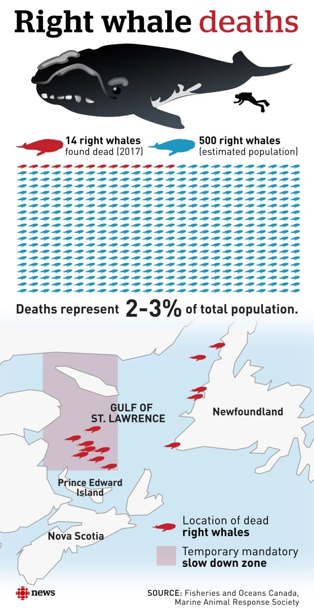 right whale deaths infographic
