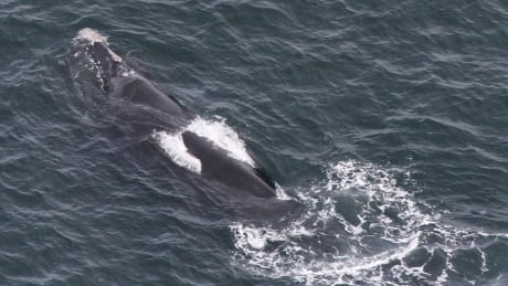 Deep Trouble right whales