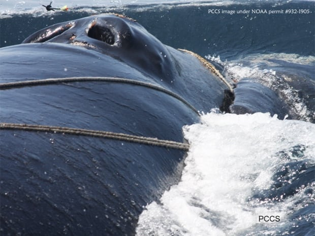 Deep Trouble right whales entanglement
