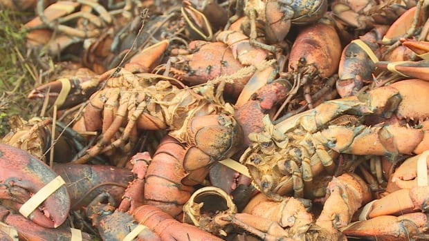 Bugs crawl over discarded lobster in Weymouth, N.S.