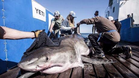 NS Charming Shark 20170908