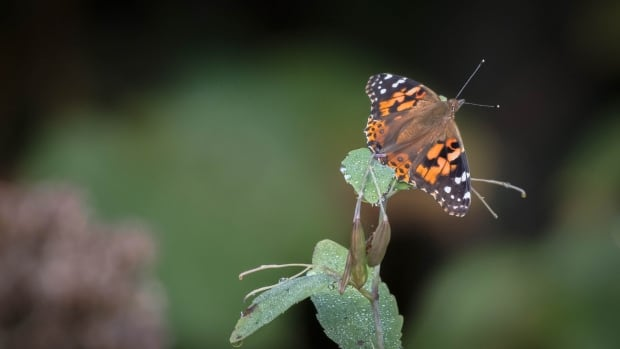 If you live in southern Quebec, the butterflies you've been seeing all over the place are called painted ladies, and they've stopped here to refuel before heading south for the winter.
