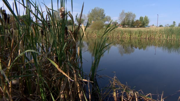 Dundonald pond rushes