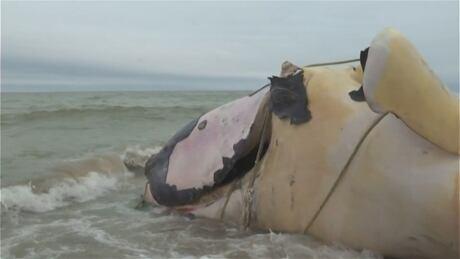 Dead North Atlantic right whale