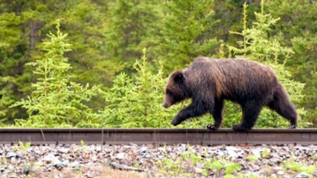 Blackmore was hunting with his 16-year-old son when the grizzly attacked, knocking him to the ground.
