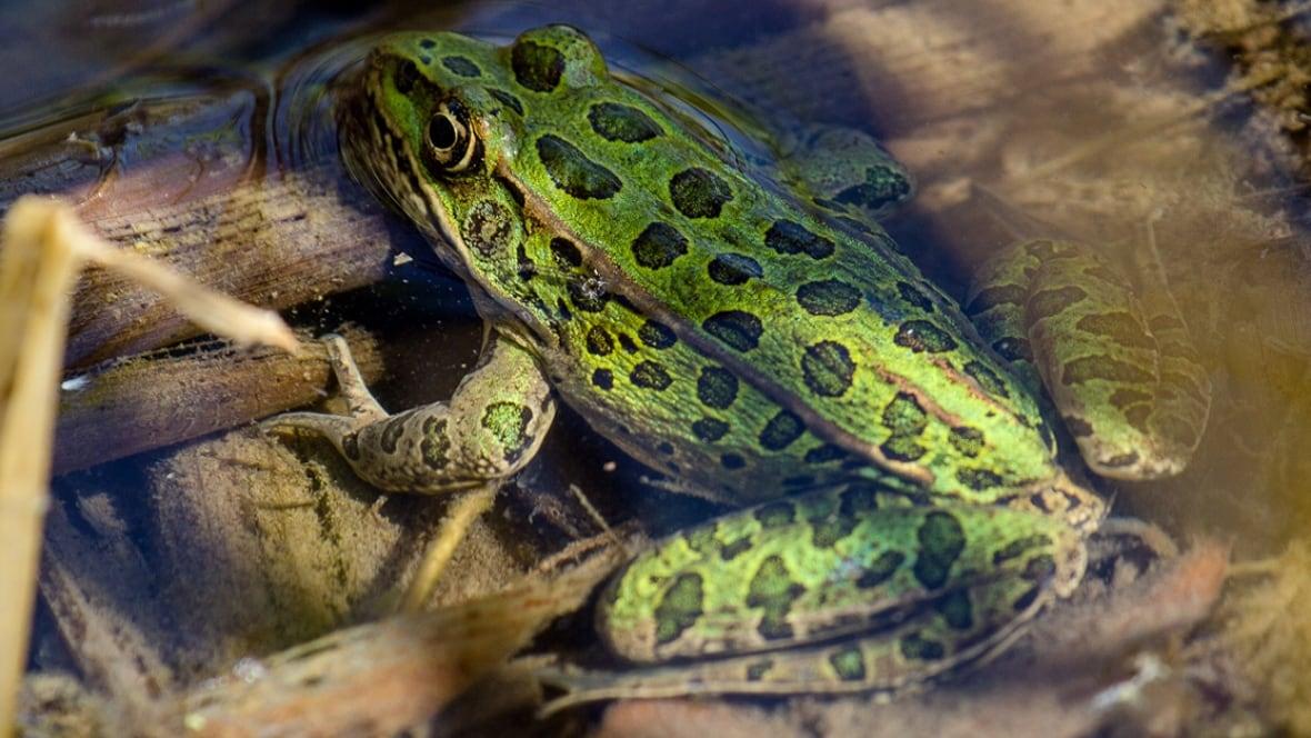 Calgary Zoo Starts Breeding Endangered Leopard Frogs