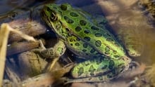 B.C. northern leopard frog
