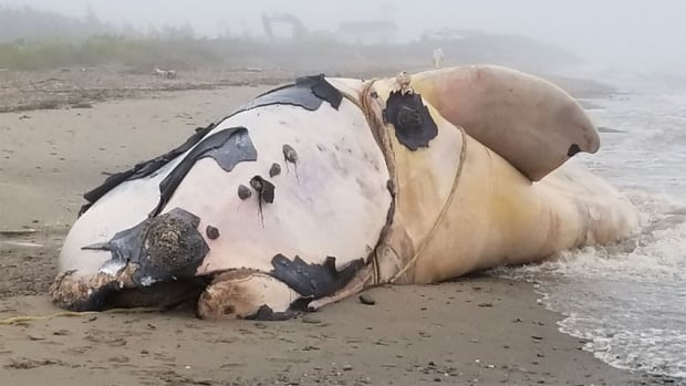 At least 17 North Atlantic right whales were found dead in Canadian and U.S. waters last year.