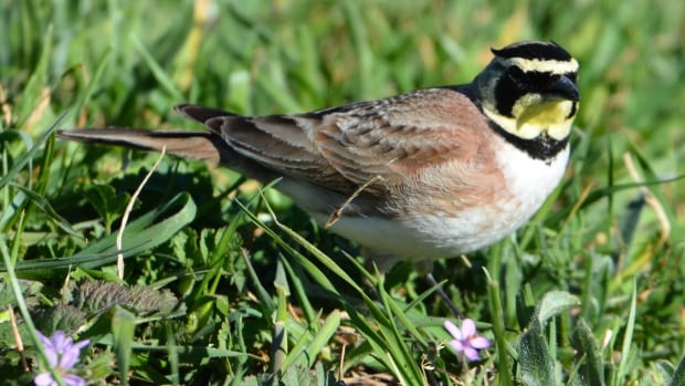 The Alberta Energy Regulator is investigating after a flock of horned larks were found dead at a Suncor mine north of Fort McMurray on Sunday.