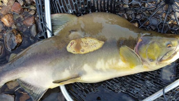 This pink salmon was caught by Tim Sharp in the Gander River last week. Pink salmon are not native to the Atlantic ocean area.