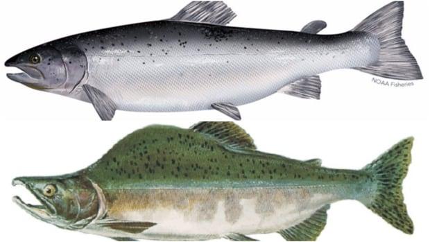 Atlantic pink pacific salmon comparison