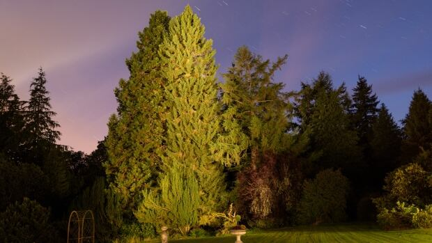 David McCabe's Spruce at the Abercairny gardens in Crieff, Scotland.