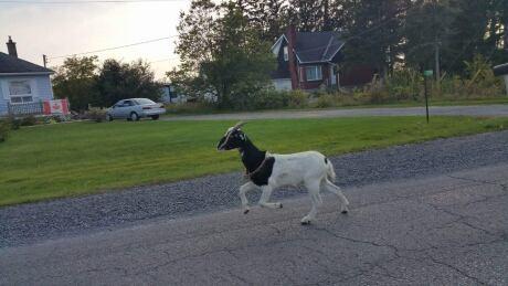 Kingston goat