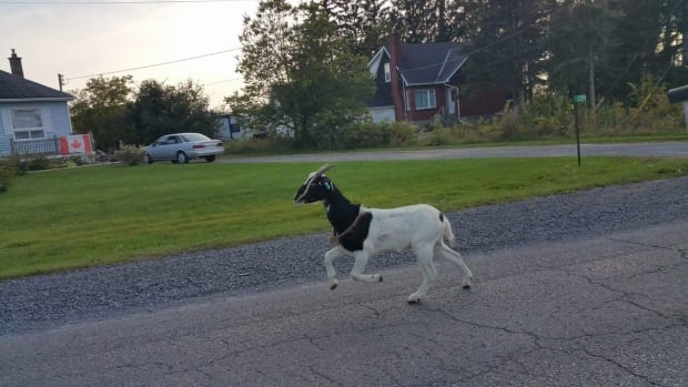 Before its death Tuesday, the 'elusive' goat became a popular topic on Twitter.