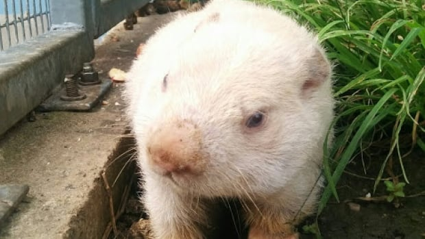Farewell, Wiarton Willie: Ontario's popular prognosticating groundhog has died