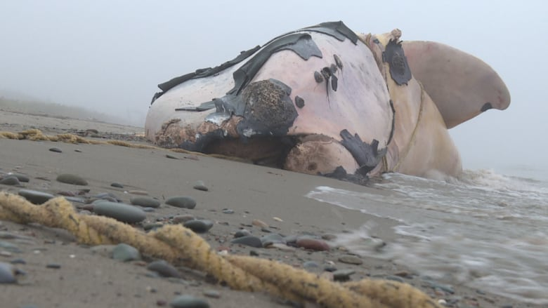 Amidst tension over right whale deaths, Maine lobster group backs Canadian fishermen